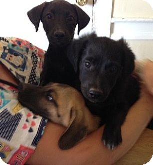 Labrador Retriever/Terrier (Unknown Type, Medium) Mix Puppy for adoption in Pennigton, New Jersey - Salsa