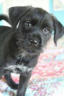 Shih Tzu/Pug Mix Puppy for adoption in Allentown, Pennsylvania - Louie