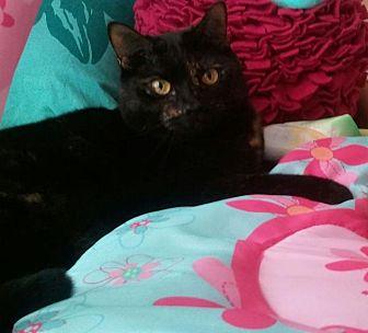 Burmese Cat for adoption in Sarasota, Florida - Darcy