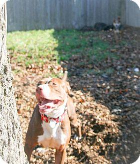 American Pit Bull Terrier/Hound (Unknown Type) Mix Dog for adoption in Eugene, Oregon - Bessie