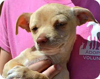 Chihuahua Mix Puppy for adoption in Simi Valley, California - Joseph