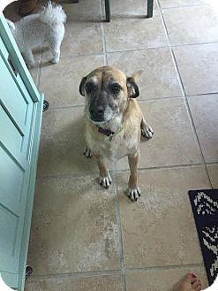 Labrador Retriever/Shepherd (Unknown Type) Mix Dog for adoption in Manhattan, Kansas - Jelly Bean- adoption pending