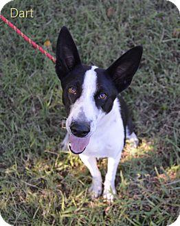 Border Collie Mix Dog for adoption in Allen, Texas - Dart
