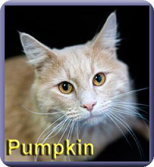 Domestic Longhair Cat for adoption in Aldie, Virginia - Pumpkin