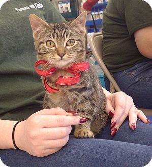 Domestic Mediumhair Kitten for adoption in Quail Valley, California - Trick