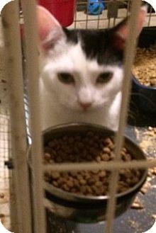 Domestic Shorthair Kitten for adoption in Monroe, New York - Sugar