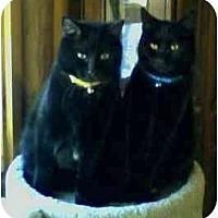 Adopt A Pet :: Midnight - Trexlertown, PA