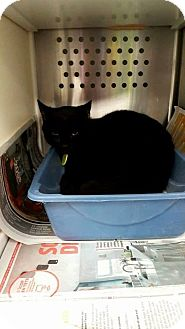 Domestic Shorthair Cat for adoption in THORNHILL, Ontario - Palma