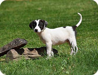 Setter (Unknown Type) Mix Puppy for adoption in Groton, Massachusetts - Tuxedo