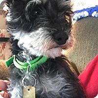 Miniature Schnauzer/Miniature Poodle Mix Puppy for adoption in Sharonville, Ohio - Max~~ADOPTION PENDING