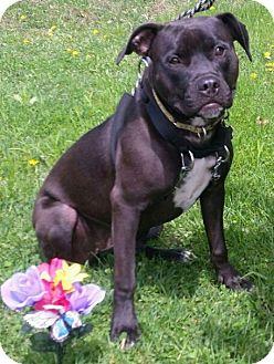 Terrier (Unknown Type, Medium) Mix Puppy for adoption in Detroit, Michigan - Hillary-Pending!