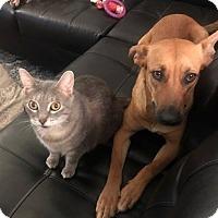 Adopt A Pet :: Sheba - Jacksonville, FL