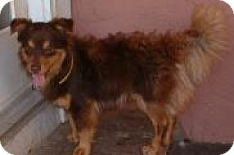 Sheltie, Shetland Sheepdog Mix Dog for adoption in Antioch, California - Andy