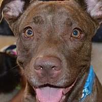 Labrador Retriever/Staffordshire Bull Terrier Mix Dog for adoption in Arlington, Washington - Nala,  Choc lab-pittie girl