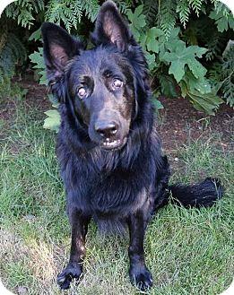 German Shepherd Dog/Belgian Shepherd Mix Dog for adoption in Federal Way, Washington - Remy - Blind Beauty