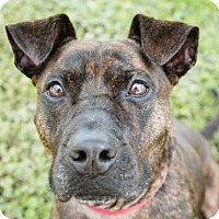 Boxer/Australian Cattle Dog Mix Dog for adoption in Lockport, New York - Marci