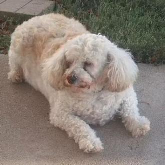 Poodle (Miniature) Mix Dog for adoption in Prole, Iowa - Becki