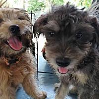 Adopt A Pet :: 'PRADA' - Agoura Hills, CA