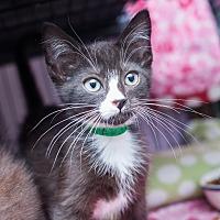Adopt A Pet :: Ewok - Shelton, WA
