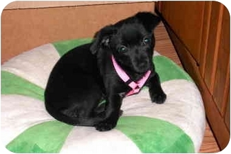 Chihuahua Puppy for adoption in San Diego, California - Velvet