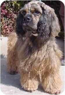 Cocker Spaniel Dog for adoption in Sugarland, Texas - Brogan
