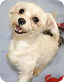 Maltese Dog for adoption in House Springs, Missouri - Doodles