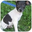 Photo 1 - Rat Terrier Mix Puppy for adoption in Mt. Prospect, Illinois - Peanut