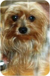 Yorkie, Yorkshire Terrier Dog for adoption in Dover, Massachusetts - Patsey