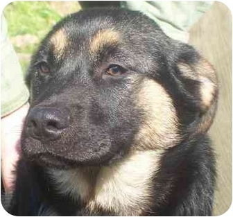 Shepherd (Unknown Type)/Labrador Retriever Mix Puppy for adoption in Chapel Hill, North Carolina - Vintage