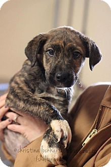 Boxer/Hound (Unknown Type) Mix Puppy for adoption in Lima, Pennsylvania - Mickey