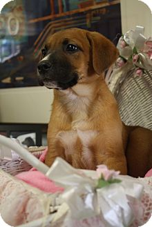 Labrador Retriever/Rhodesian Ridgeback Mix Puppy for adoption in Nashville, Tennessee - Fergie