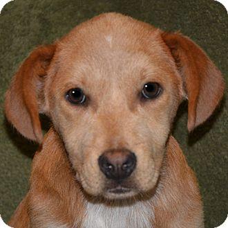 Labrador Retriever/Blue Heeler Mix Puppy for adoption in Plainfield, Connecticut - Snooky