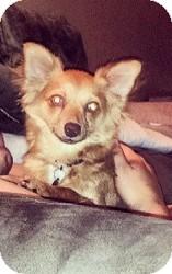 Chihuahua Mix Dog for adoption in Shawnee Mission, Kansas - Sebastian