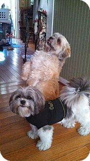 Lhasa Apso Mix Dog for adoption in kennebunkport, Maine - Shayla & Roscoe - in Maine