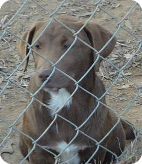 Labrador Retriever Mix Puppy for adoption in Naugatuck, Connecticut - Colt