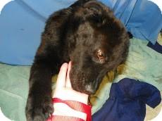 Labrador Retriever Dog for adoption in Waldorf, Maryland - Tinker