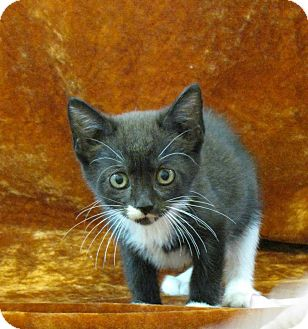 Domestic Shorthair Kitten for adoption in tama, Iowa - Betty