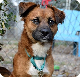 Pembroke Welsh Corgi Mix Dog for adoption in Bradenton, Florida - Red