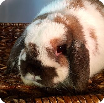 Lop, Holland Mix for adoption in Grand Rapids, Michigan - Finley