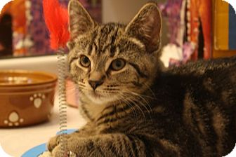 Bengal Kitten for adoption in Fort Wayne, Indiana - Cindy
