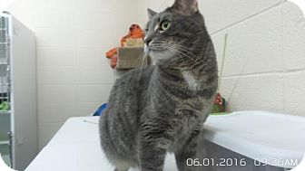 Domestic Shorthair Cat for adoption in Crown Point, Indiana - Max