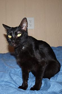 Domestic Shorthair Cat for adoption in Jackson, Mississippi - Laverne