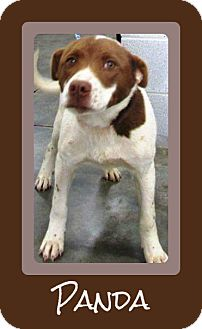 Labrador Retriever/Pit Bull Terrier Mix Dog for adoption in Laingsburg, Michigan - Panda