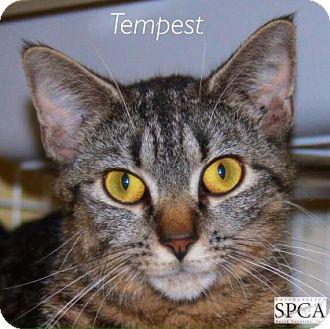 Domestic Shorthair Cat for adoption in Elizabeth City, North Carolina - Tempest