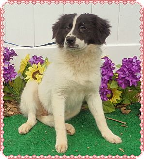 Border Collie Mix Dog for adoption in Marietta, Georgia - LIZZIE (R)