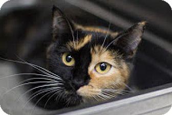 Calico Cat for adoption in Bradenton, Florida - Aurora