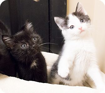 Domestic Shorthair Kitten for adoption in Chicago, Illinois - Spider Man and Wonder Woman