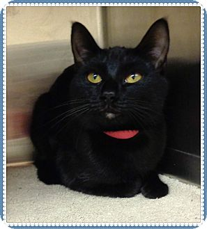 Domestic Shorthair Cat for adoption in Marietta, Georgia - ETNA
