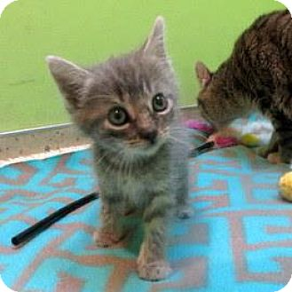 Domestic Shorthair Kitten for adoption in Janesville, Wisconsin - Edith