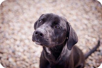 Labrador Retriever Mix Dog for adoption in Brattleboro, Vermont - Ivy